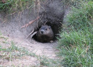 groundhog-peeking-out-of-grassy-cave-300x216